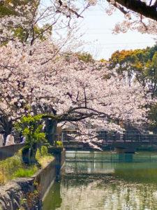 川沿いの桜の写真